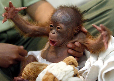 Adopts an Orangutan from